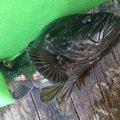 カペリンさんの北海道小樽市での釣果写真