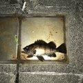 Dの回し者さんの香川県でのメバルの釣果写真