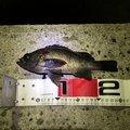 あらしさんの広島県福山市での釣果写真