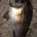 snufkin49さんの青森県青森市でのソイの釣果写真