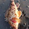 hiro.tさんの兵庫県高砂市でのカサゴの釣果写真
