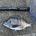 御伽さんのクロダイの釣果写真