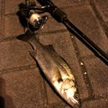 0920@1120さんの静岡県静岡市でのスズキの釣果写真