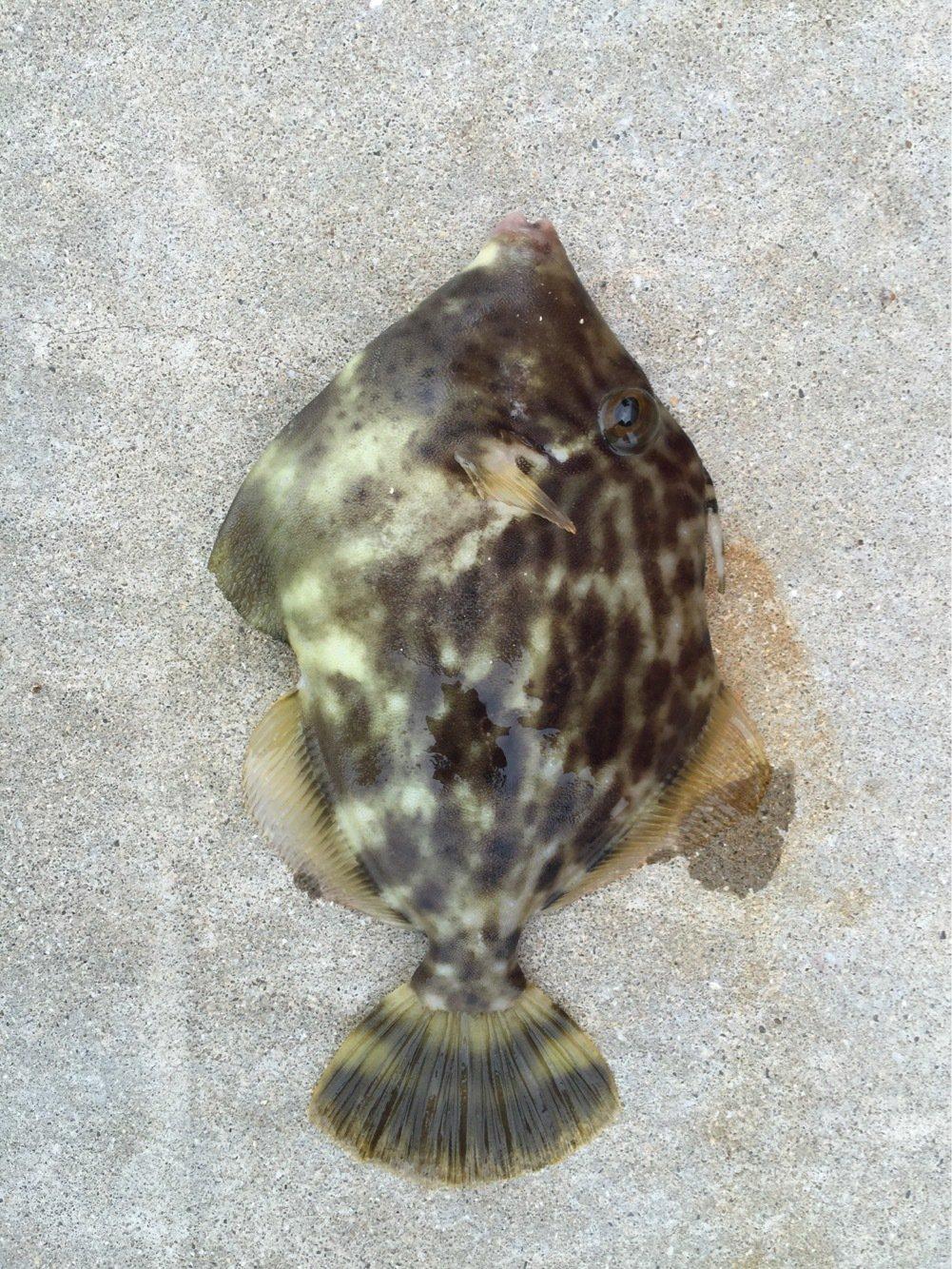 sJimさんの投稿画像,写っている魚はカワハギ