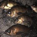 はなちゃんさんの兵庫県でのメバルの釣果写真