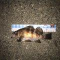 フォール  さんの香川県でのメバルの釣果写真