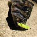 ゴロウさんのクロソイの釣果写真