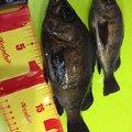 rin82さんの香川県でのメバルの釣果写真