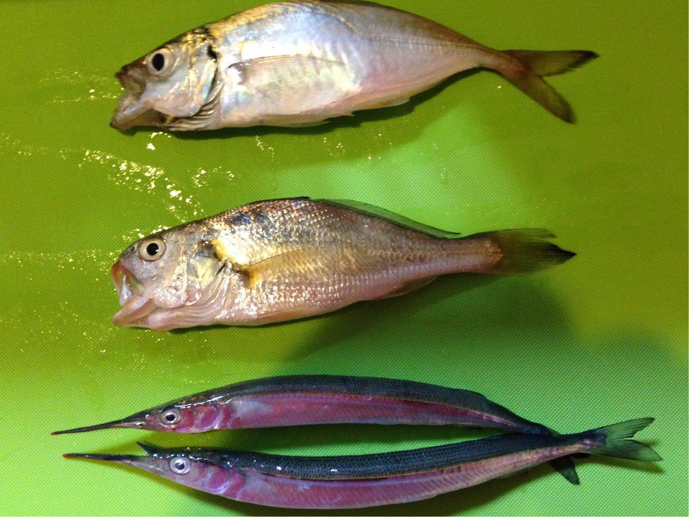 さぼ侍さんの投稿画像,写っている魚はサヨリ