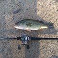 くまたそさんの茨城県稲敷市での釣果写真