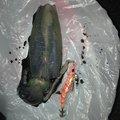 たけのこさんの長崎県北松浦郡でのアオリイカの釣果写真
