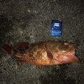 ペコスさんの静岡県御前崎市でのカサゴの釣果写真