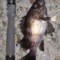 フィーゴさんの兵庫県でのメバルの釣果写真