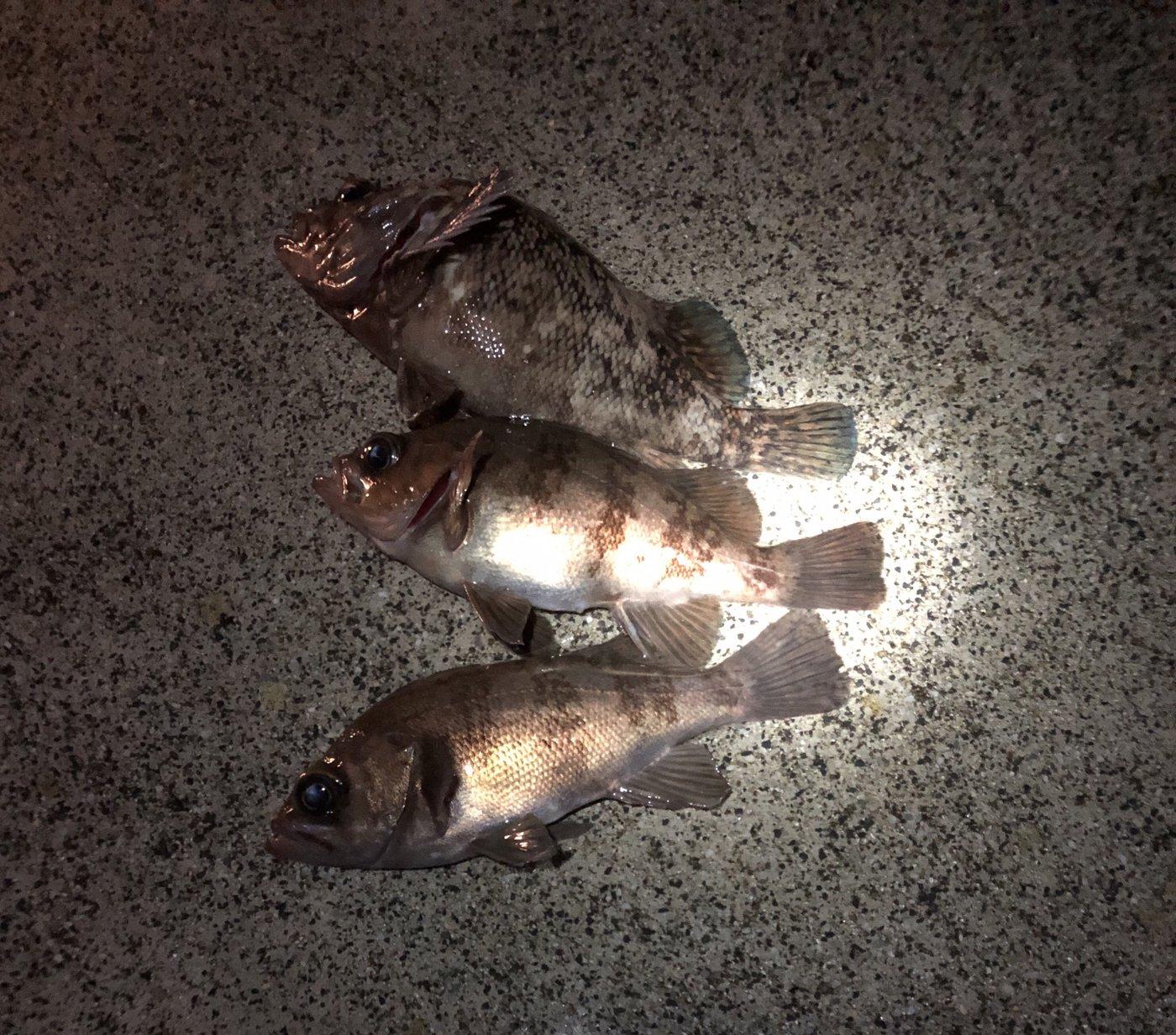 DJ  さんの投稿画像,写っている魚はムラソイ,メバル