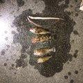ポリンキーさんのカサゴの釣果写真