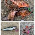 キンパツタラオさんのカサゴの釣果写真