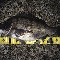 タカさんの千葉県習志野市でのクロダイの釣果写真