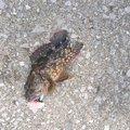 ソラさんのカサゴの釣果写真