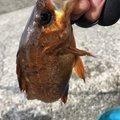 もりたさんさんの兵庫県でのメバルの釣果写真