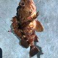 Takenori Saitoさんのカサゴの釣果写真