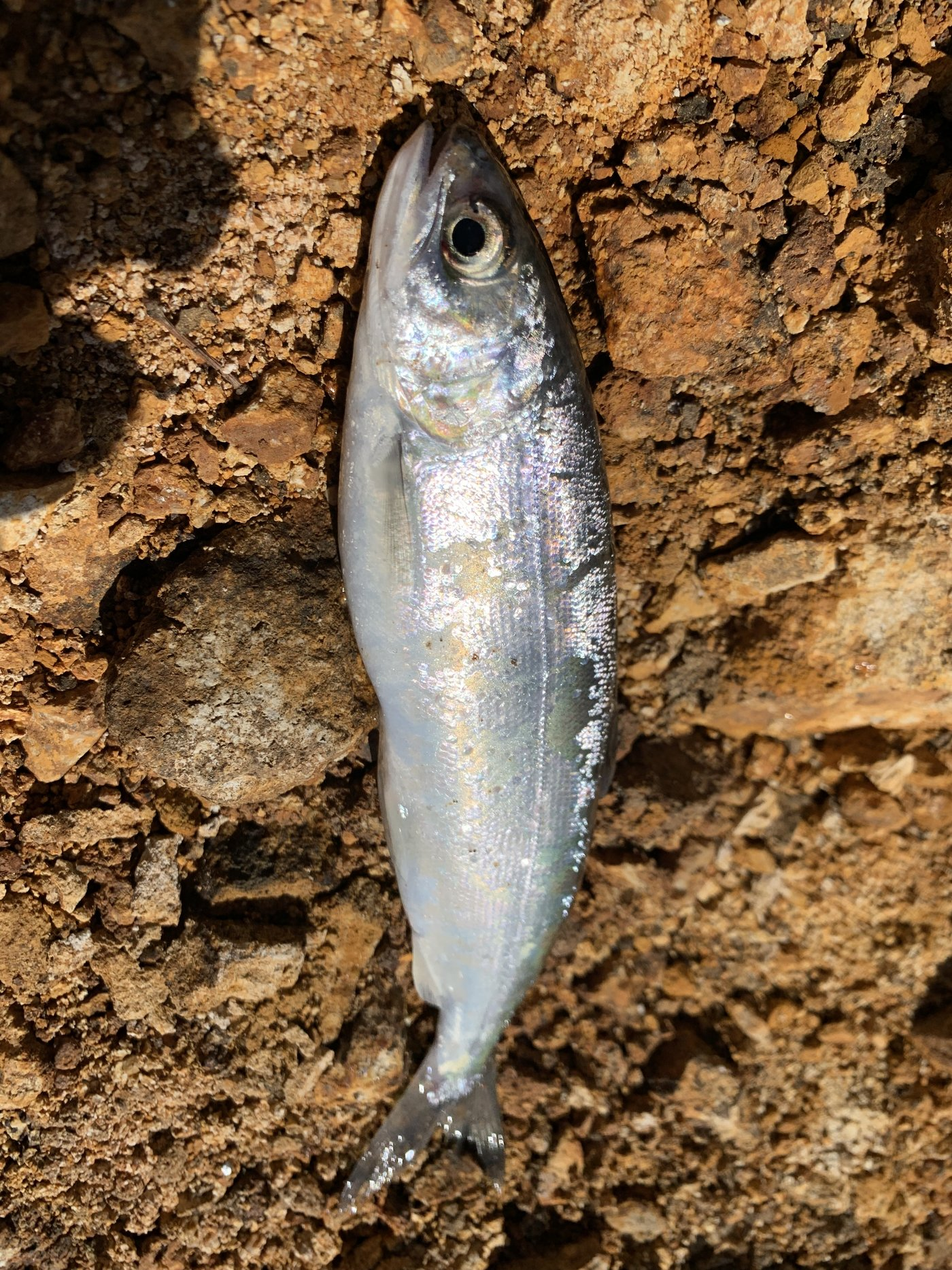 きーくんさんの投稿画像,写っている魚はヒメマス