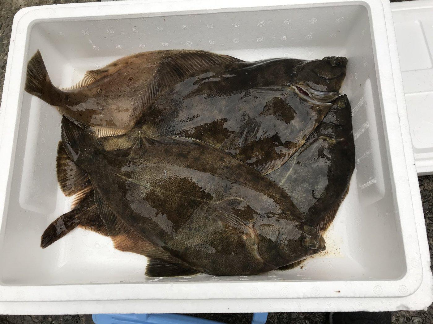 伊藤  颯太さんの投稿画像,写っている魚はカレイ,アイナメ
