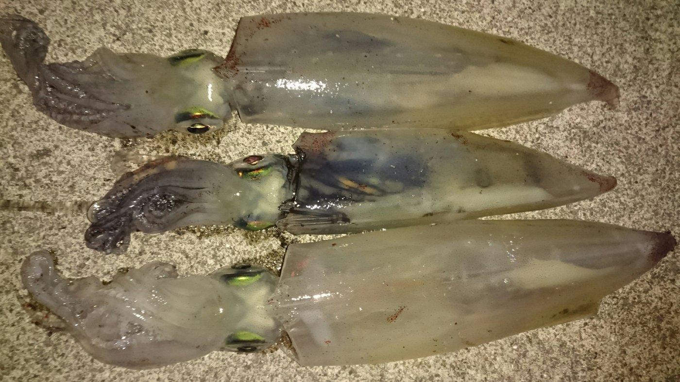 ツカサさんの投稿画像,写っている魚はケンサキイカ