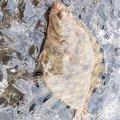 GKさんの北海道石狩郡での釣果写真