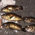 釣りバカちゃんさんの大分県臼杵市での釣果写真