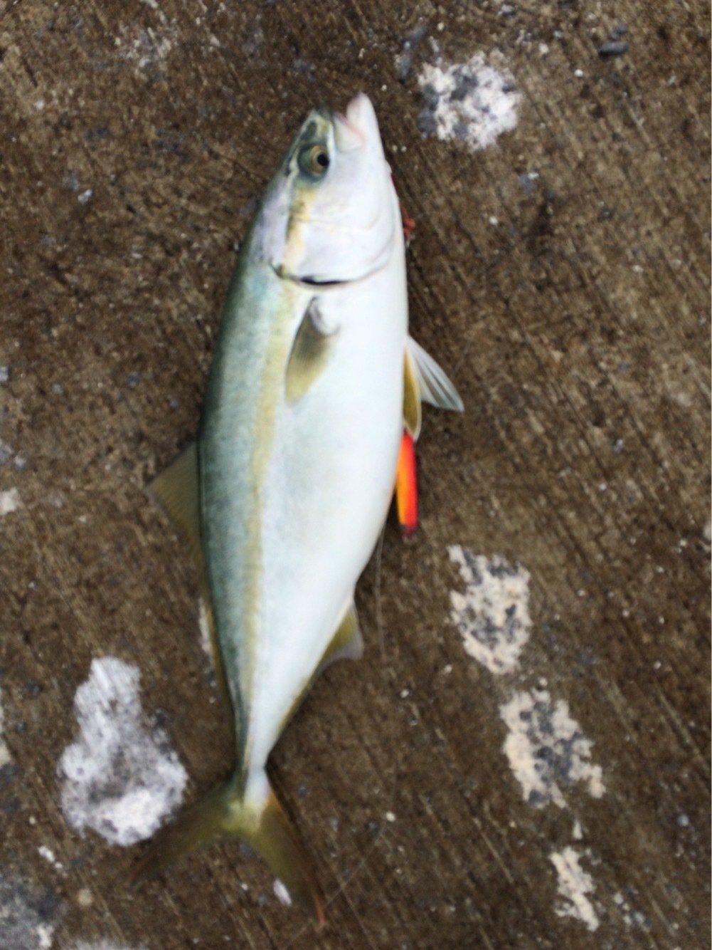 ポンコツ4ドアさんの投稿画像,写っている魚はブリ