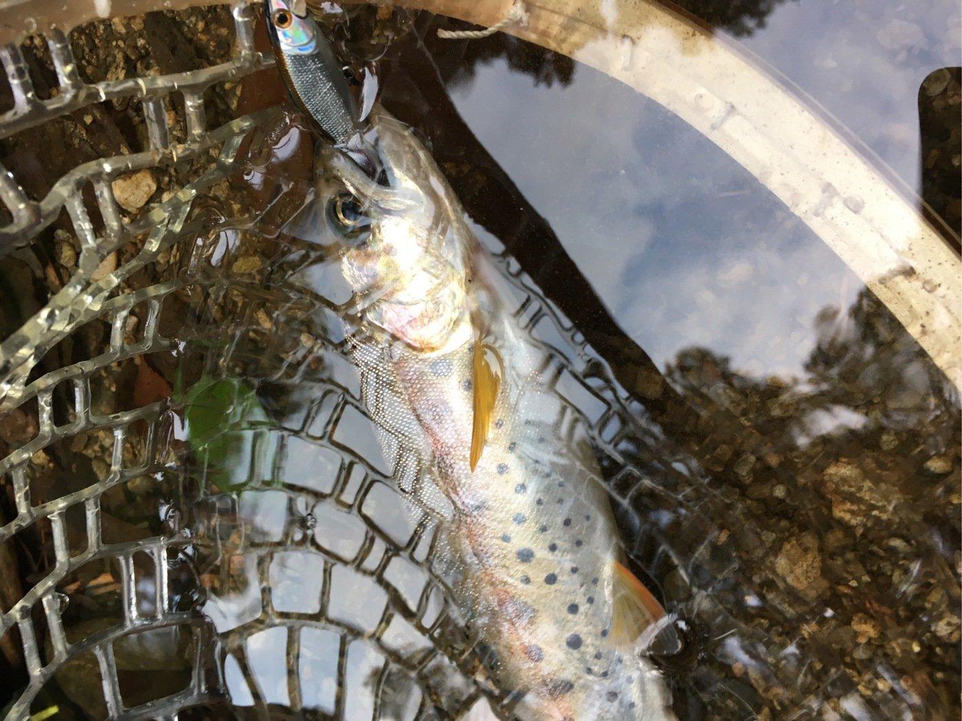 あぽさんの投稿画像,写っている魚はヤマメ