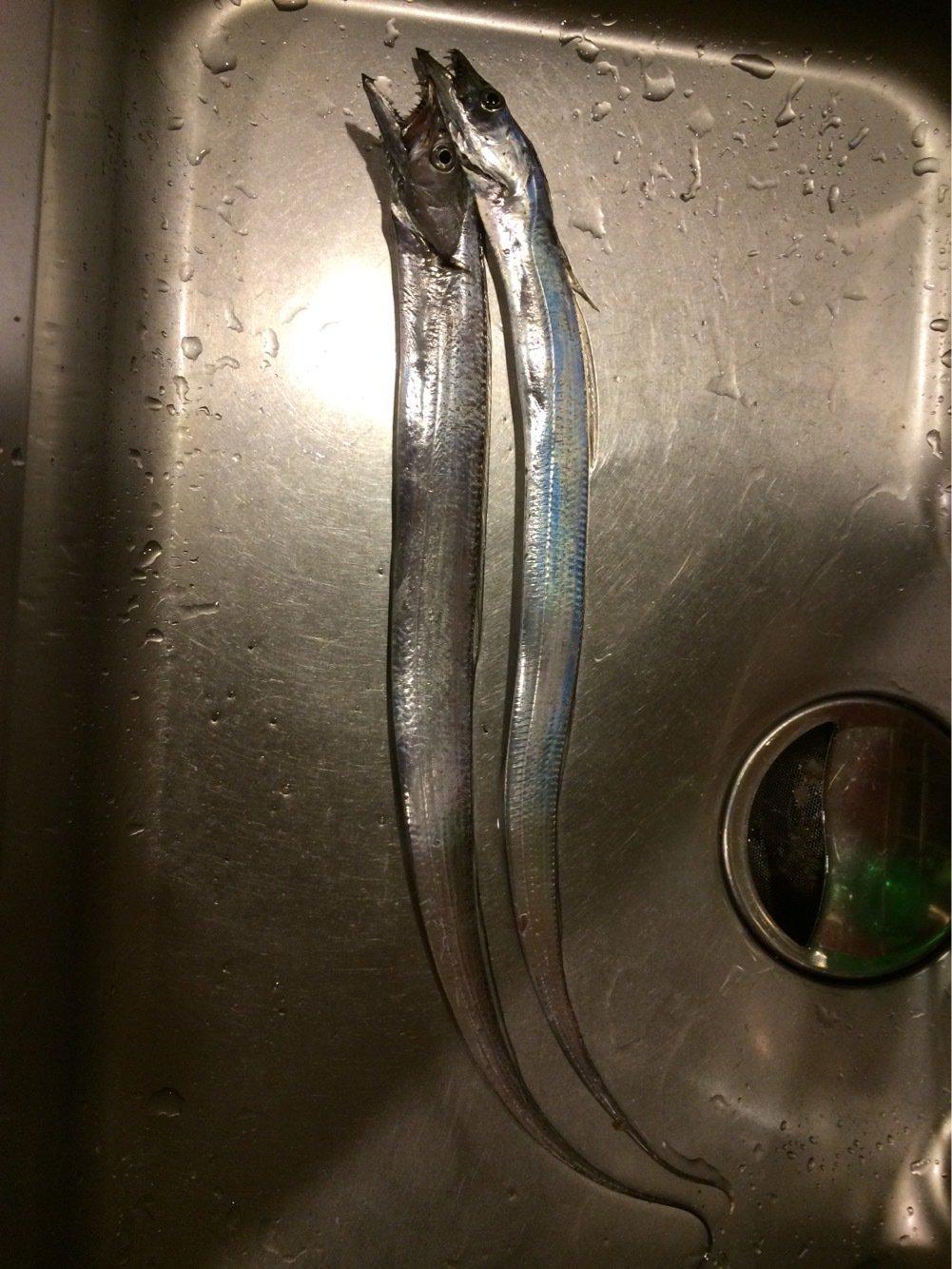 きのたかさんの投稿画像,写っている魚はタチウオ
