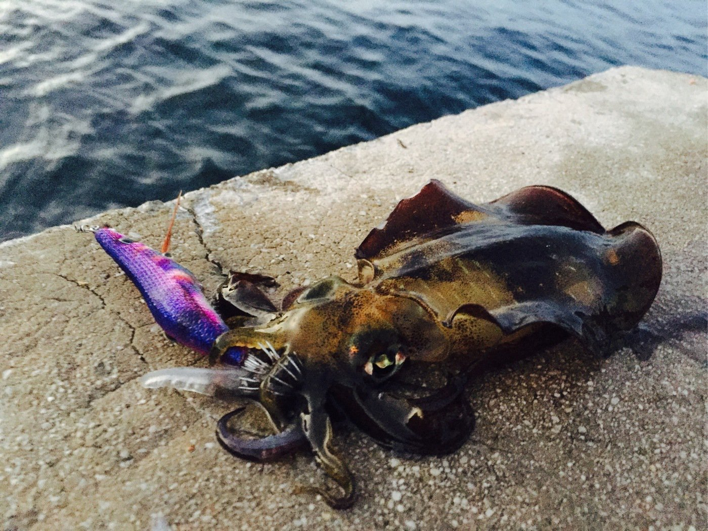 Ryosuke.Hさんの投稿画像,写っている魚はアオリイカ