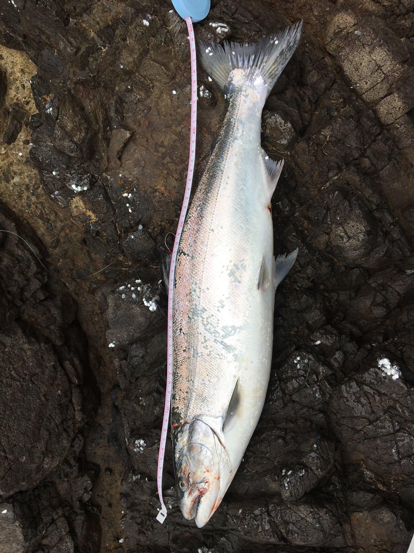 ゆういちさんの投稿画像,写っている魚はサクラマス
