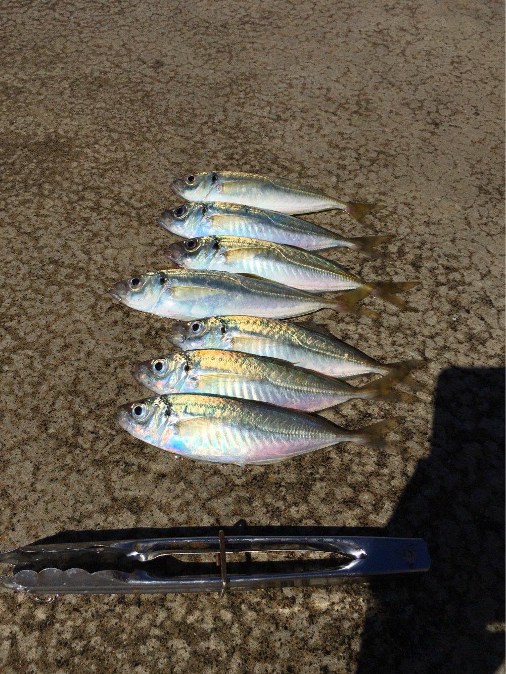 Murakameepさんの投稿画像,写っている魚はアジ
