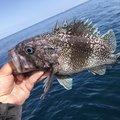 海花パパさんの北海道古平郡での釣果写真