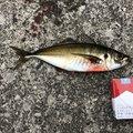 たいたいさんの大分県津久見市でのアジの釣果写真