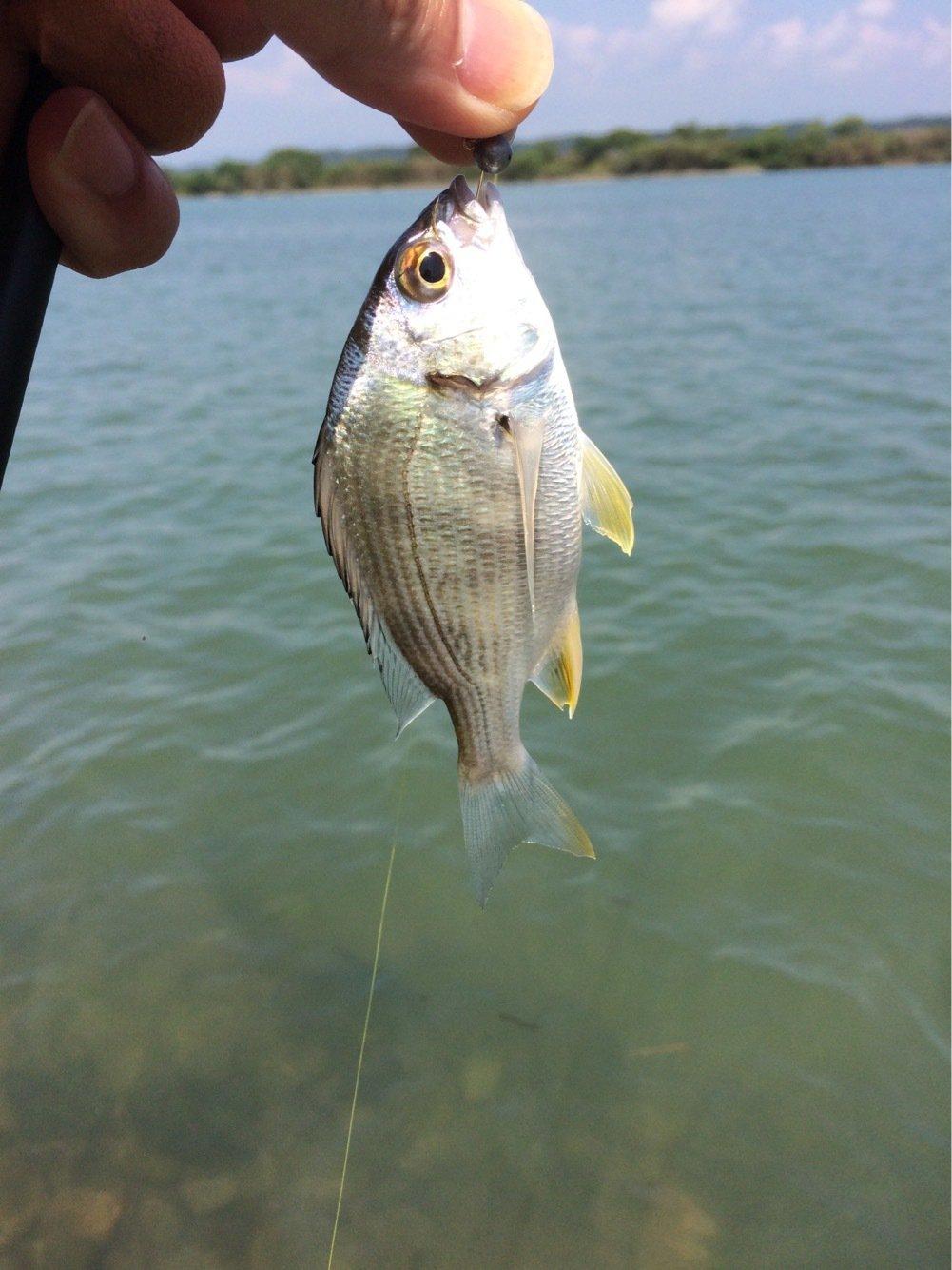 ちきちきさんの投稿画像,写っている魚はキチヌ