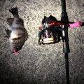 fishing life  🎣さんの岡山県玉野市での釣果写真