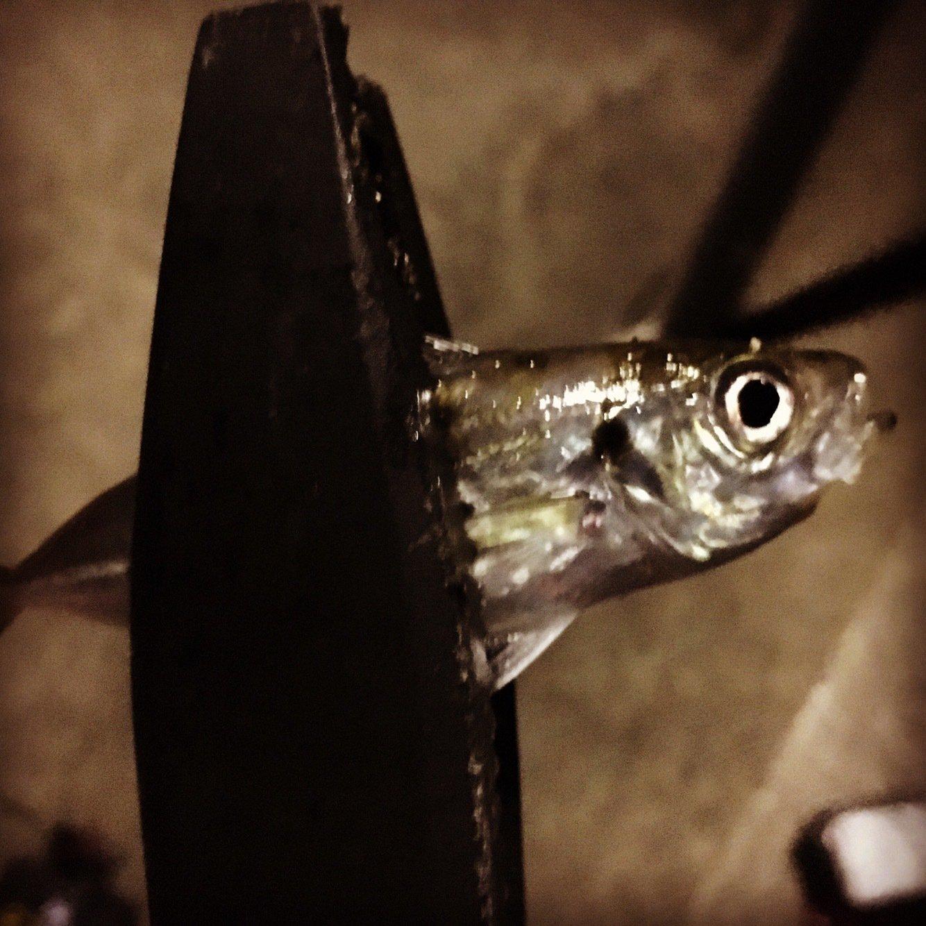 メバルくんxxさんの投稿画像,写っている魚はアジ