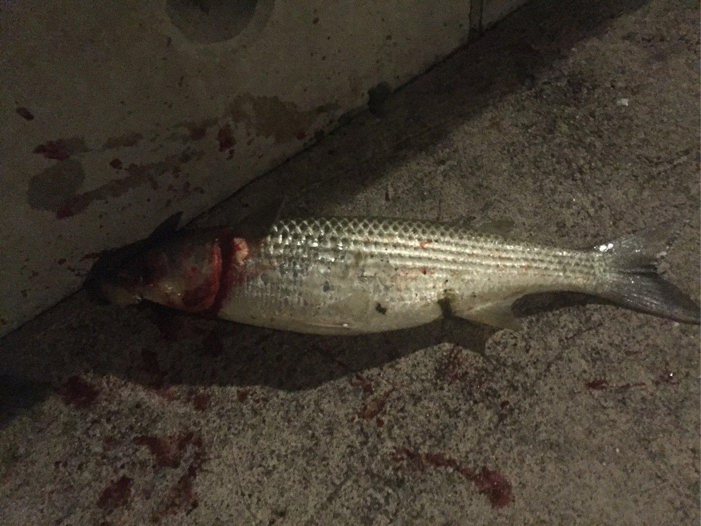 眼力さんの投稿画像,写っている魚はボラ