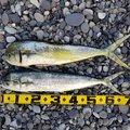 ゆうきさんの三重県熊野市での釣果写真