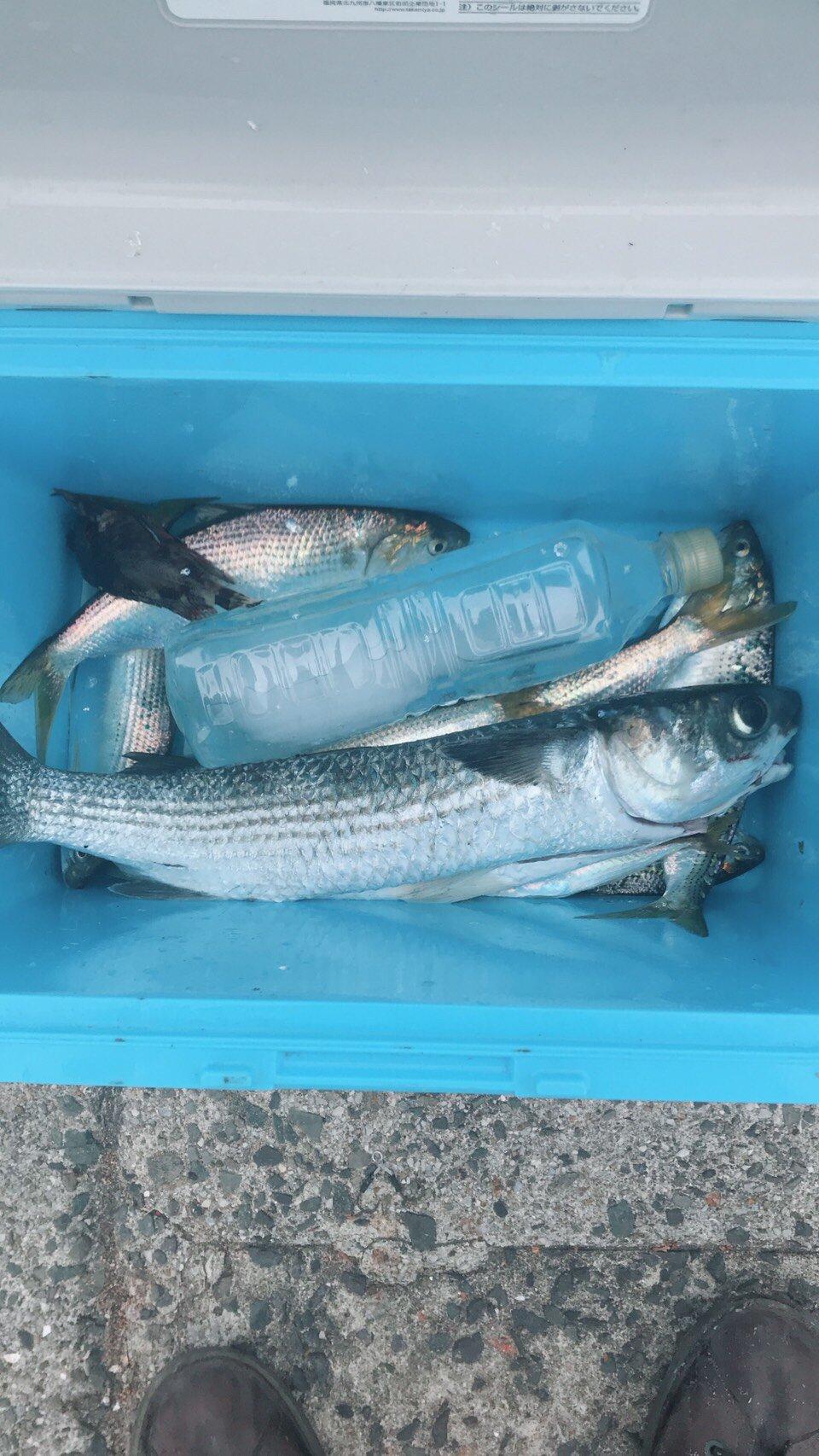 拓ニャンさんの投稿画像,写っている魚はボラ,アジ,コノシロ,ウミタナゴ,サヨリ