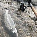 コバちゃんさんの岐阜県でのヤマメの釣果写真