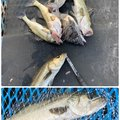 やきそばさんの千葉県市原市での釣果写真