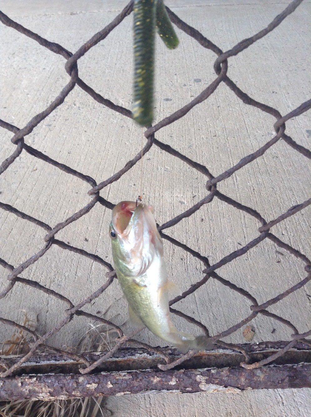 黒田官兵衛さんの投稿画像,写っている魚は