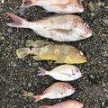 サバイバルさんの熊本県天草郡での釣果写真