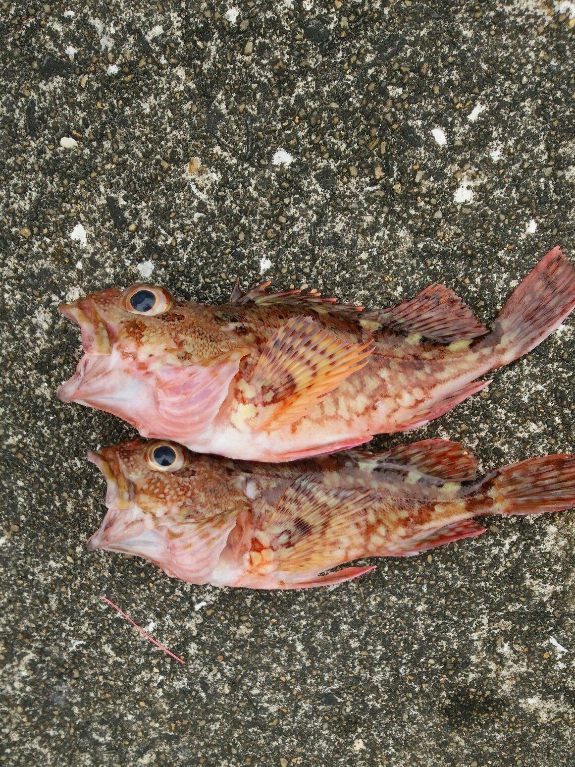 やまさんさんの投稿画像,写っている魚はカサゴ
