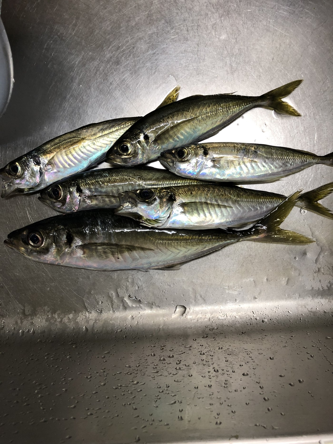 はっしぃさんの投稿画像,写っている魚はアジ