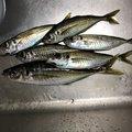 はっしぃさんの新潟県魚沼市での釣果写真
